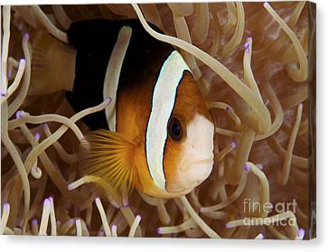Clarks Anemonefish Canvas Print by Steve Rosenberg - Printscapes