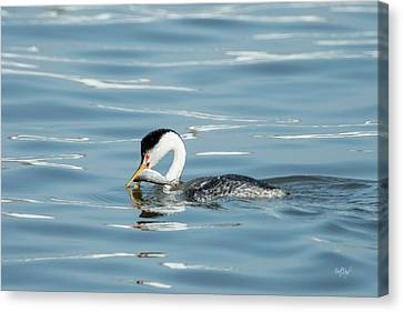 Clarks Grebe Canvas Print by Everet Regal