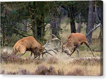 Red Deer Canvas Print - Clash Of The Titans by Roelof Janssens