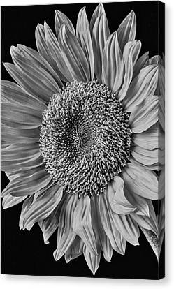 Classic Black And White Sunflower Canvas Print