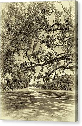 Classic Southern Beauty - Evergreen Plantation -sepia Canvas Print by Steve Harrington