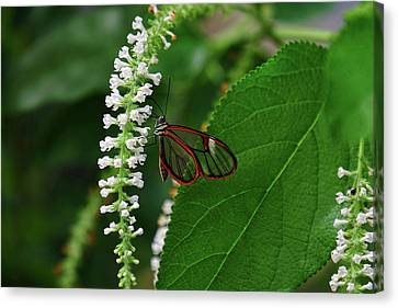 Clearwing Butterfly Canvas Print