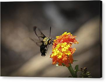 Clearwing Moth Sphinx Moth Canvas Print