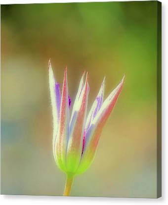 Clematis Bud - Cropped Canvas Print