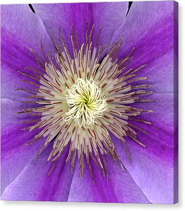 Clematis Canvas Print by Christopher Gruver