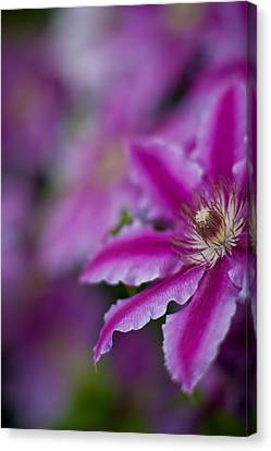 Clematis Dream Canvas Print by Mike Reid