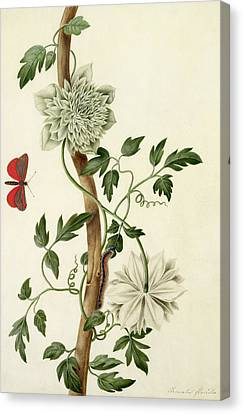 Clematis Florida With Butterfly And Caterpillar Canvas Print