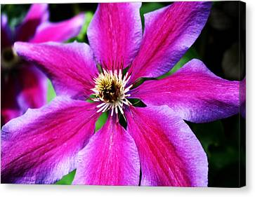 Clematis Flower Canvas Print by Cathie Tyler