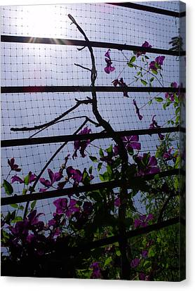 Canvas Print - Clematis II by Anna Villarreal Garbis
