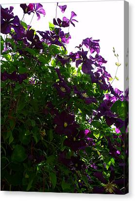 Canvas Print - Clematis IIi by Anna Villarreal Garbis
