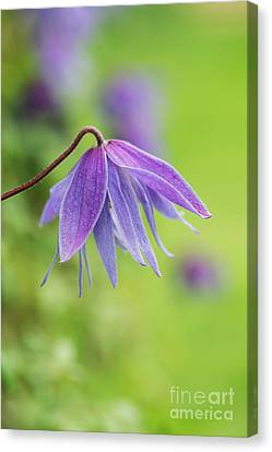 Canvas Print featuring the photograph Clematis Lagoon Flower by Tim Gainey