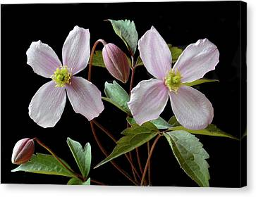 Canvas Print featuring the photograph Clematis Montana Rubens by Terence Davis