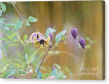 Clematis My Angel  Canvas Print by Tim Gainey