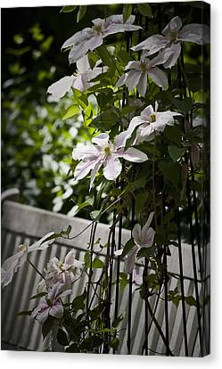 Clematis Vine 3 Canvas Print by Teresa Mucha