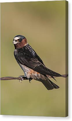 Canvas Print featuring the photograph Cliff Swallow by Gary Lengyel