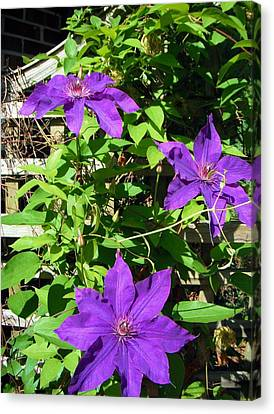 Canvas Print featuring the photograph Climbing Clematis by Susan Carella