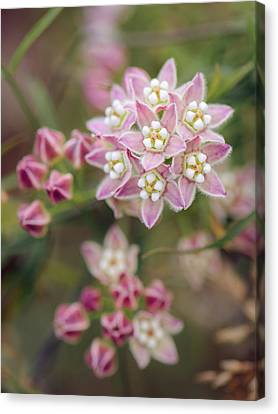 Canvas Print featuring the photograph Climbing Milkweed Flower Umbels by Alexander Kunz