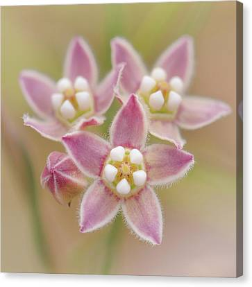 Canvas Print featuring the photograph Climbing Milkweed Flowers by Alexander Kunz