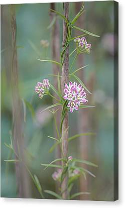 Canvas Print featuring the photograph Climbing Milkweed On Old Reed by Alexander Kunz