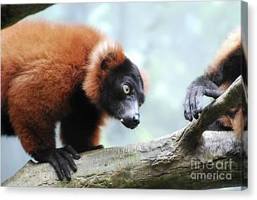 Climbing Red Ruffed Lemur On A Fallen Log Canvas Print