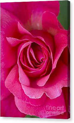 Climbing Rose Galway Bay Canvas Print by Tim Gainey