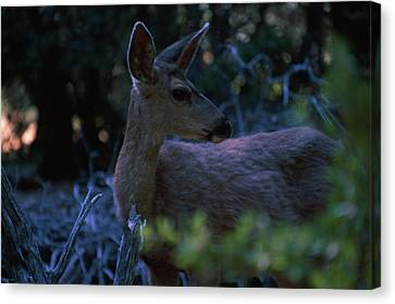 Close Encounter Canvas Print by Soli Deo Gloria Wilderness And Wildlife Photography