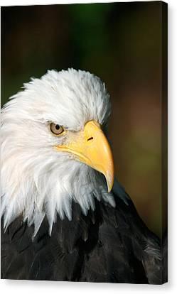 Close Portrait Of A Bald Eagle Canvas Print by Ralph Lee Hopkins