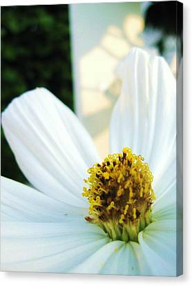 Close To A Daisy Canvas Print by Nancy Ippolito
