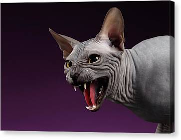 Close-up Aggressive Sphynx Cat Hisses On Purple Canvas Print by Sergey Taran