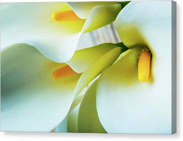 Close Up Calla Lilies Canvas Print by Garry Gay