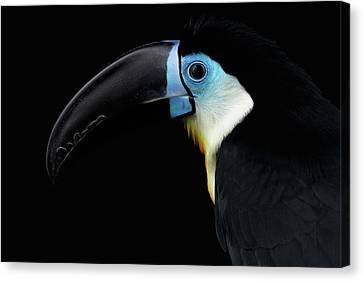 Close-up Channel-billed Toucan, Ramphastos Vitellinus, Isolated On Black Canvas Print by Sergey Taran