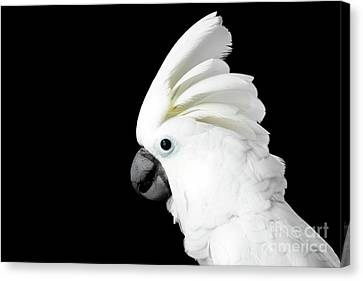 Close-up Crested Cockatoo Alba, Umbrella, Indonesia, Isolated On Black Background Canvas Print