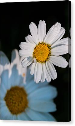 Simple Beauty In Colors Canvas Print - Close Up Daisy by Nathan Wright