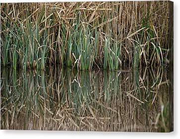 Close Up Image Of Reeds In Water During Spring Canvas Print