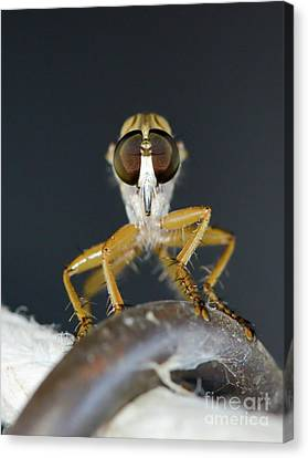 Canvas Print featuring the photograph Close Up Macro Of A Robber Fly - Efferia Albibarbis by Michael Moriarty