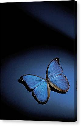 Close-up Of A Blue Butterfly Canvas Print by Stockbyte