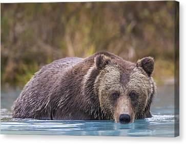 Close Up Of A Coastal Brown Bear  Ursus Canvas Print by Rob Daugherty
