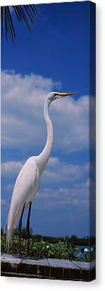 Close-up Of A Great Egret Ardea Alba Canvas Print by Panoramic Images