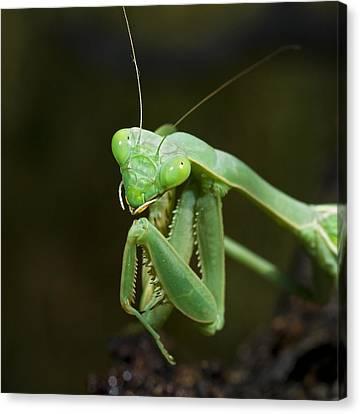Close Up Of A Praying Mantis Canvas Print by Jack Goldfarb