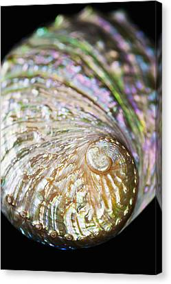 Close-up Of Abalone Shell Canvas Print by Bill Brennan - Printscapes