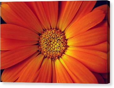Close Up Of An Orange Daisy Canvas Print