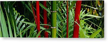 Close-up Of Bamboo Trees, Hawaii, Usa Canvas Print