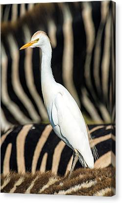 Close-up Of Cattle Egret Bubulcus Ibis Canvas Print by Panoramic Images