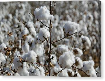 Wellington Canvas Print - Close-up Of Cotton Plants In A Field by Panoramic Images