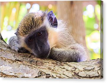 Close Up Of Green Monkey - Barbados Canvas Print by Matteo Colombo