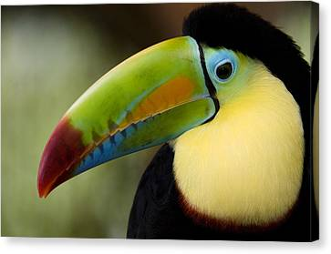 Close-up Of Keel-billed Toucan Canvas Print by Panoramic Images