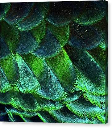 Close Up Of Peacock Feathers Canvas Print