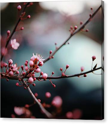 Close-up Of Plum Blossoms Canvas Print by Danielle D. Hughson