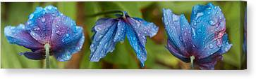 Close-up Of Raindrops On Blue Flowers Canvas Print by Panoramic Images