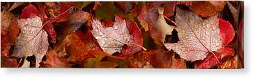 Close-up Of Raindrops On Maple Leaves Canvas Print by Panoramic Images